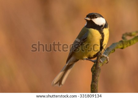 Great tit in autumn scenery (Parus major) - stock photo