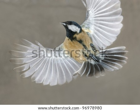 Great tit in flight, auto-shot with flash - stock photo