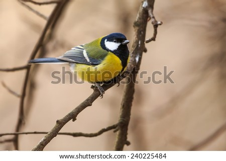 great tit in the branches tree - stock photo