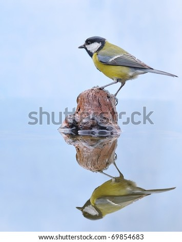 Great tit in the water. - stock photo