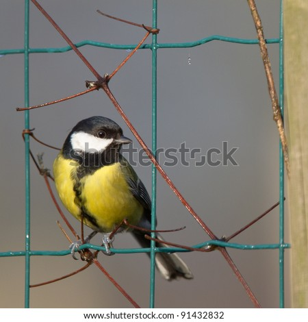 Great-tit in wire netting