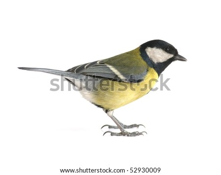 Great tit, isolated on white - stock photo