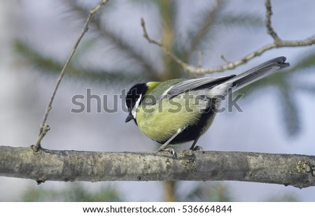 Great tit on a branch.