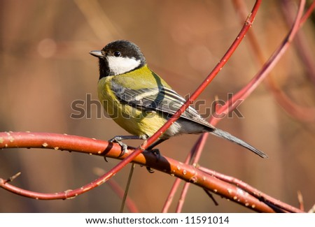 great tit on a branch in sunny day