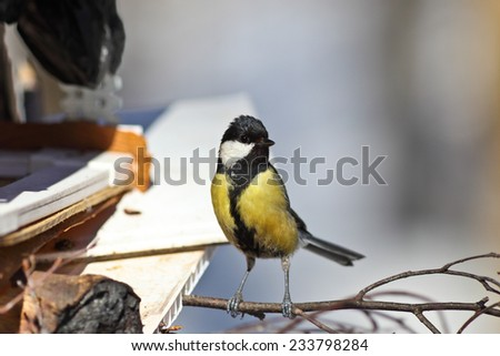 Great tit on a branch in winter forest at sunny day.  - stock photo