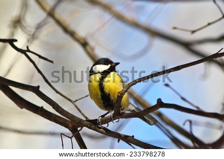 Great tit on a branch in winter forest in cold weather.  - stock photo