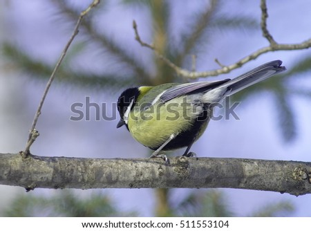 Great tit on a branch. Parus major.