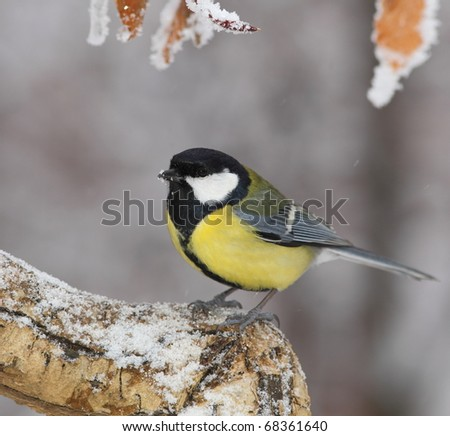 Great tit on a snowy branch - stock photo