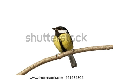 Great Tit on the branch on the white background. Isolated. White background can easily be made transparent