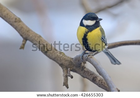 great tit on tree brunch