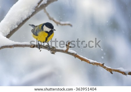 great tit on tree brunch in winter time - stock photo