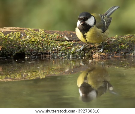 Great Tit - Parus Major - Koolmees