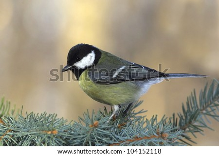 Great tit (Parus major) on a  fir branch - stock photo