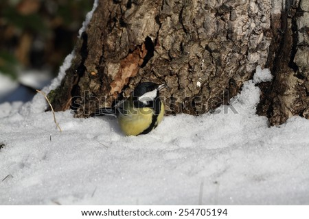 Great Tit (Parus major) on a snow - winter - stock photo