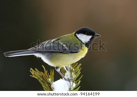 Great tit (Parus major) on a snowy fir branch - stock photo