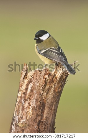 Great Tit (Parus Major) perched on Tree Stump