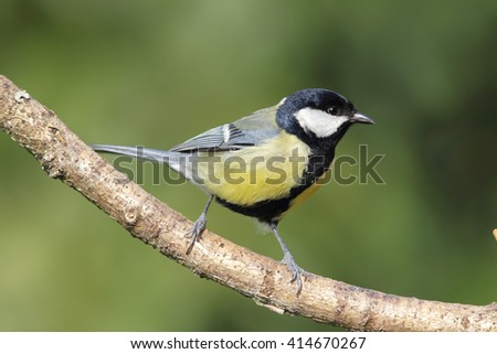 Great Tit (Parus major) sitting on a branch in the garden.