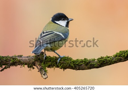 Great tit (Parus major) sitting on a branch with yellow / orange background in the garden, Germany