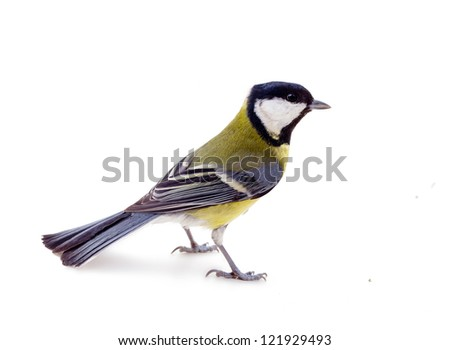 Great tit (Parus major), titmouse, oxeye in breeding plumage on white background, close up, perky bird, spring, feeding birds (all creatures great and small)