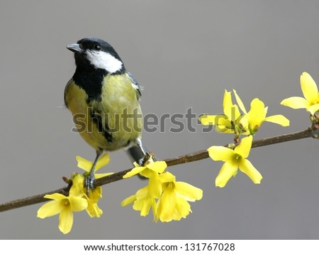 Great tit, perched in blossoming bush of Forsythia - stock photo