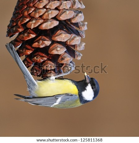 Great tit perched on a pinecone eating. - stock photo