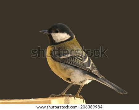 Great tit perched on wooden bar against dark wall - stock photo