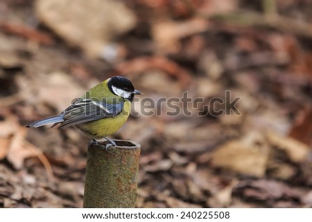 great tit sirs on the pipe - stock photo