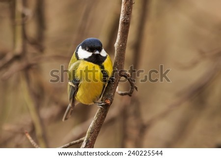 great tit sitting on the branch - stock photo