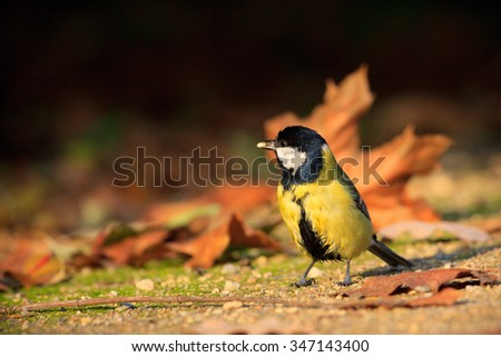 Great tit standing on the ground in the park