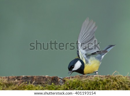 Great tit taking food from the stump, clean  background, Czech Republic, Europe - stock photo