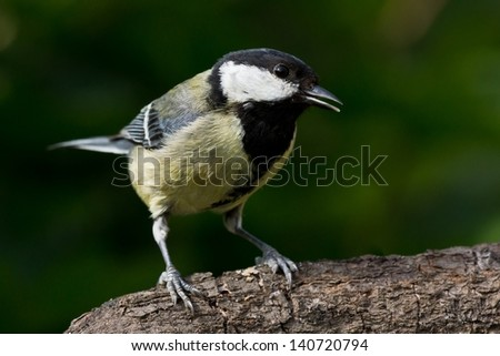 Great tit with half open beak perched on a branch - stock photo