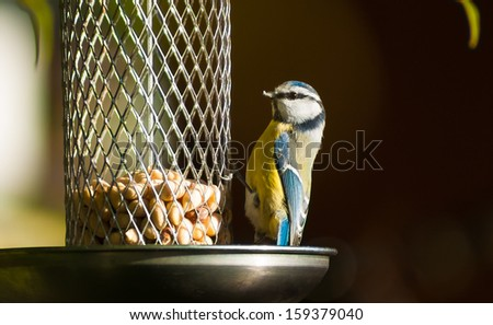 Great titmouse (parus major) feeding - stock photo