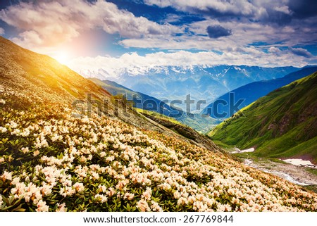 Great view of the alpine meadows with rhododendron flowers at the foot of Mt. Ushba. Dramatic unusual scene. Overcast  blue sky. Upper Svaneti, Georgia, Europe. The main Caucasian ridge. Beauty world. - stock photo