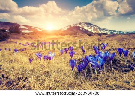 Great view of the first spring flowers on the meadow. Dramatic scene. Carpathian, Ukraine, Europe. Beauty world. Retro style, vintage soft filter. Instagram toning effect. - stock photo