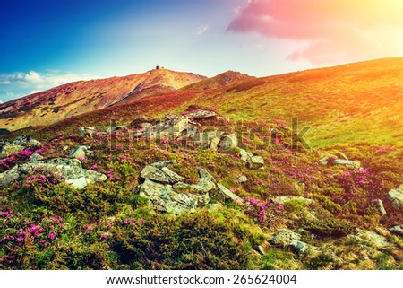 Great view of the magic pink rhododendron flowers on the hill. Dramatic unusual scene. Carpathian, Ukraine, Europe. Beauty world.  Retro style, vintage soft filter. Instagram toning effect. - stock photo