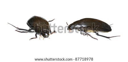 Great Water Beetle (Hydrophilus piceus) in two positions isolated on white - stock photo
