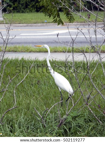Great White Egret (Ardea alba), also known as Common Egret or Great White Heron photographed in Florida.
