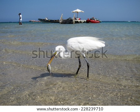 Great white egret caught a small fish in front of a marina - stock photo