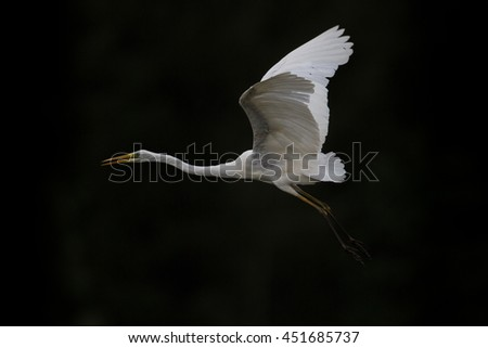 Great white egret (egretta alba) in flight