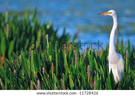 great white egret in dawn sunlight at wetland - stock photo