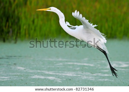 great white egret in flight over wetland pond with duckweed - stock photo