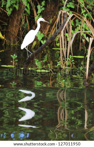 Great White Egret in Kakadu National Park