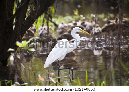 Great White Egret in Kakadu National Park, Australia - stock photo