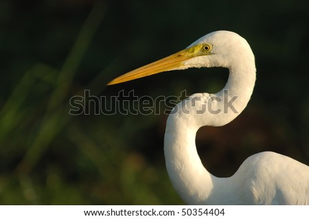Great White Egret in Kakadu National Park, Australia