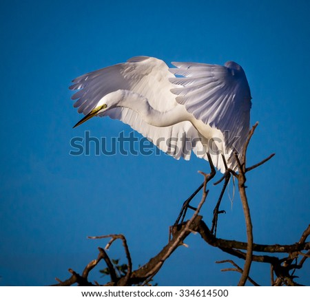 Great white egret landing on branch, wings spread-Edit - stock photo