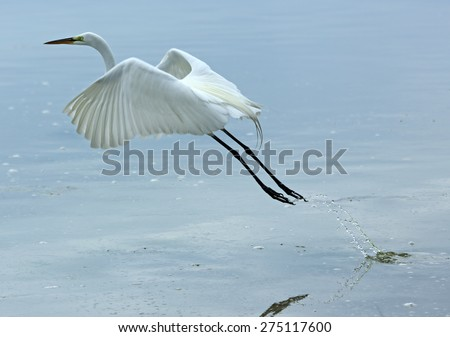 Great white egret launching into flight at Fort De Soto State Park. These are the shallows of the Gulf of Mexico shoreline of western Florida near Tampa. Scientific name is Ardea alba. - stock photo