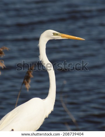 Great White Egret near the water at Bombay Hook. - stock photo