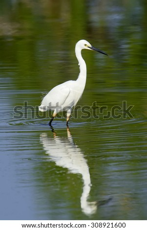 Great white egret stands in wildlife pond  - stock photo