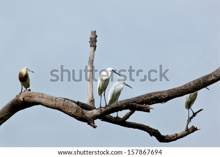 Great White Egret stands on the tree - stock photo