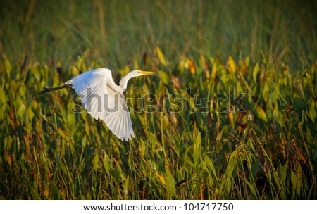 Great white egret takes flight over water reeds in Florida - stock photo